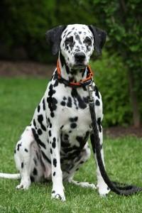 Beautiful dalmatian bitch